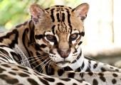 zoo Ave Jaguar