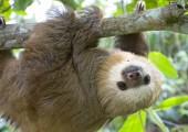 zoo ave sloth