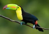 zoo ave toucan