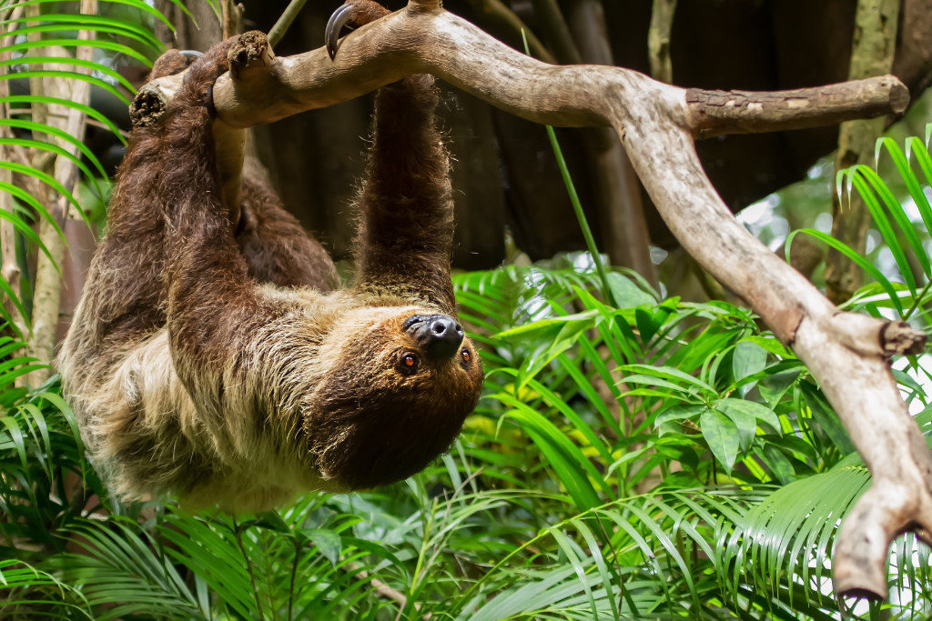 sloth hanging in costa rica