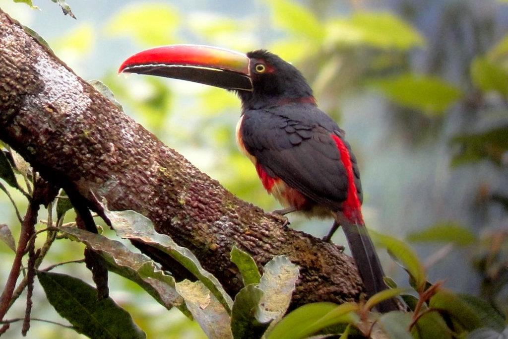 Fiery billed Aracari on Costa Rica birding tour