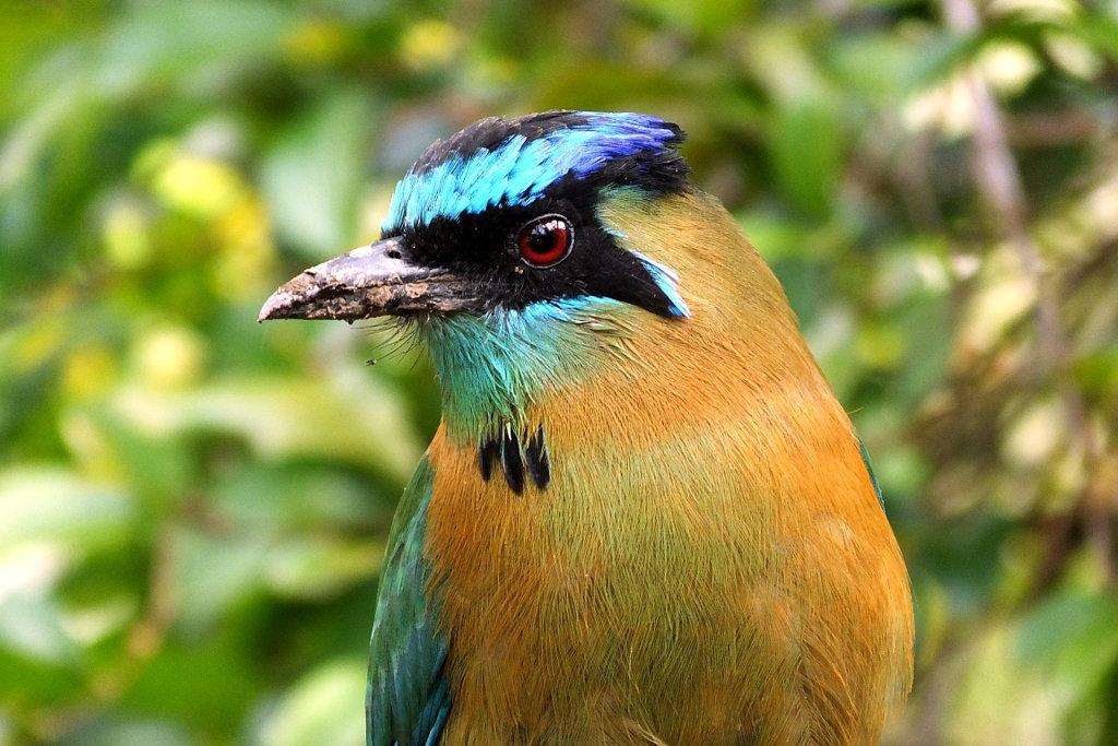 Lessons-Motmot on Costa Rica birding tour