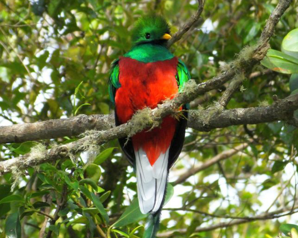 Resplendent quetza on Costa Rica birding tour