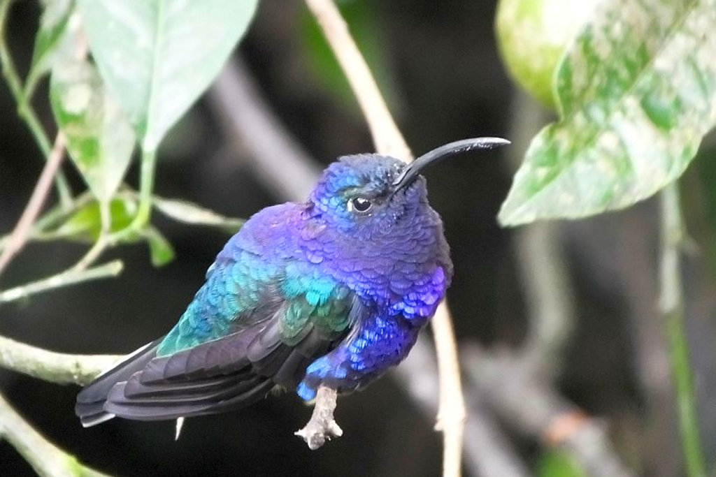 Violet sabrewing male on Costa Rica birding tour