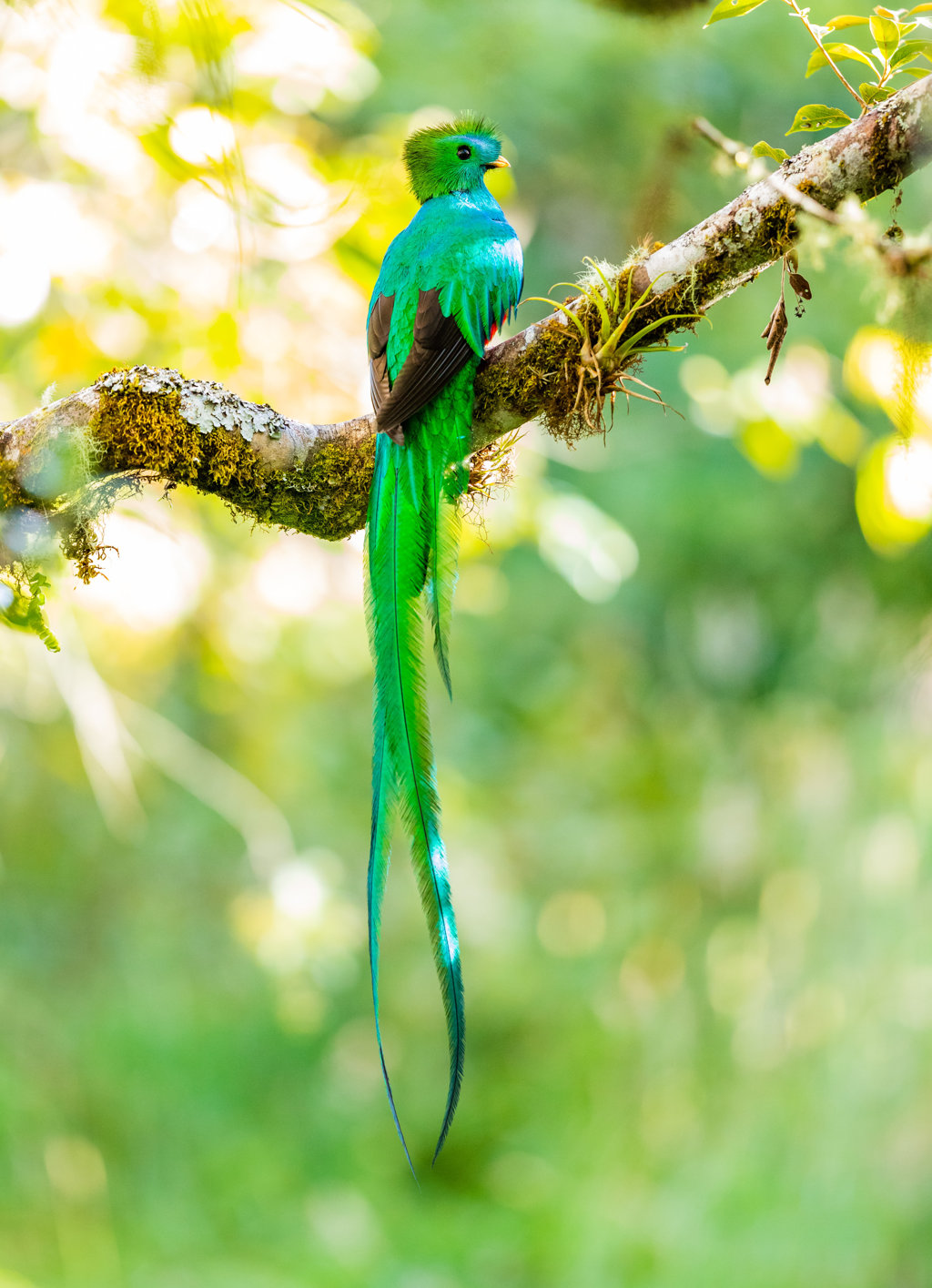 Photo by Zdenek Machacek Resplendent Quetzal