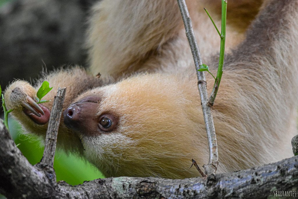 Sloth in Costa Rica by Rescate Wildlife Rescue Center