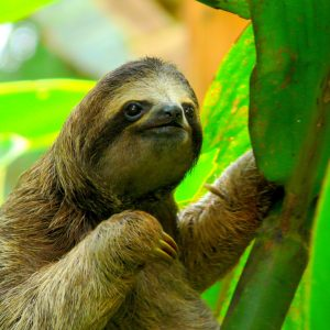 Sloths in the Wild in Costa Rica