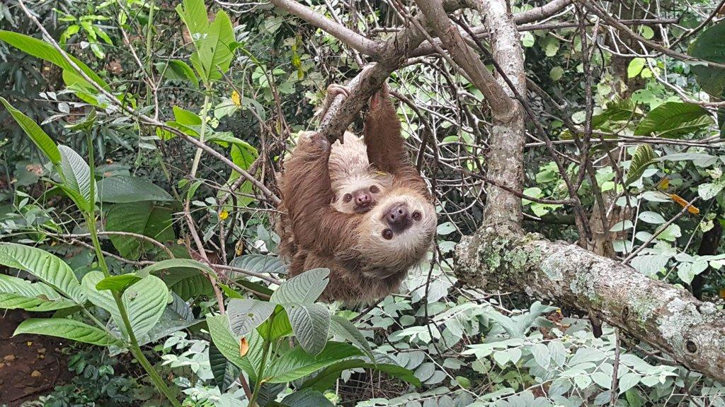 See sloths near Villa San Ignacio! - Photo by Rescate Wildlife Rescue Center