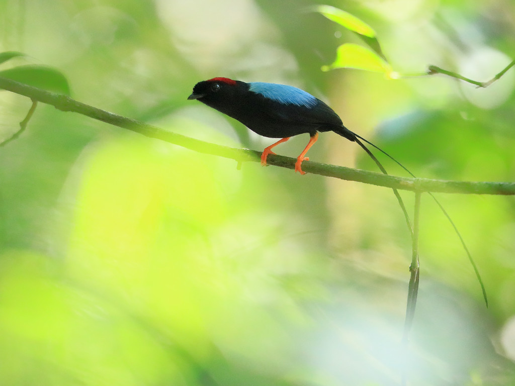 See a Long Tailed Manakin in Villa San Ignacio