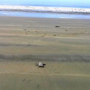 Sea Turtles Nesting Seasons in Costa Rica
