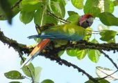 See the Great Green Macaw in Costa RIca