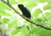 Male long tailed manakin