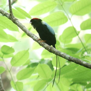 Looking for Long-tailed Manakins (Toledos)