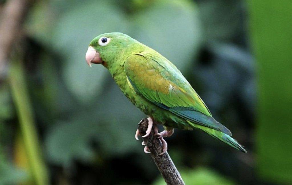 Periquito garganta anaranjada  (Brotogeris jugularis) es una de las hermosas aves más comunes en el Hotel Villa San Ignacio