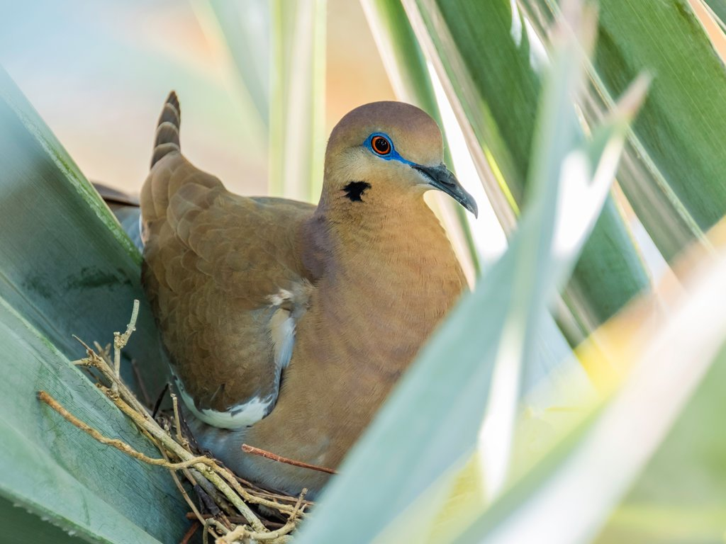 White-winged dove resting in nest