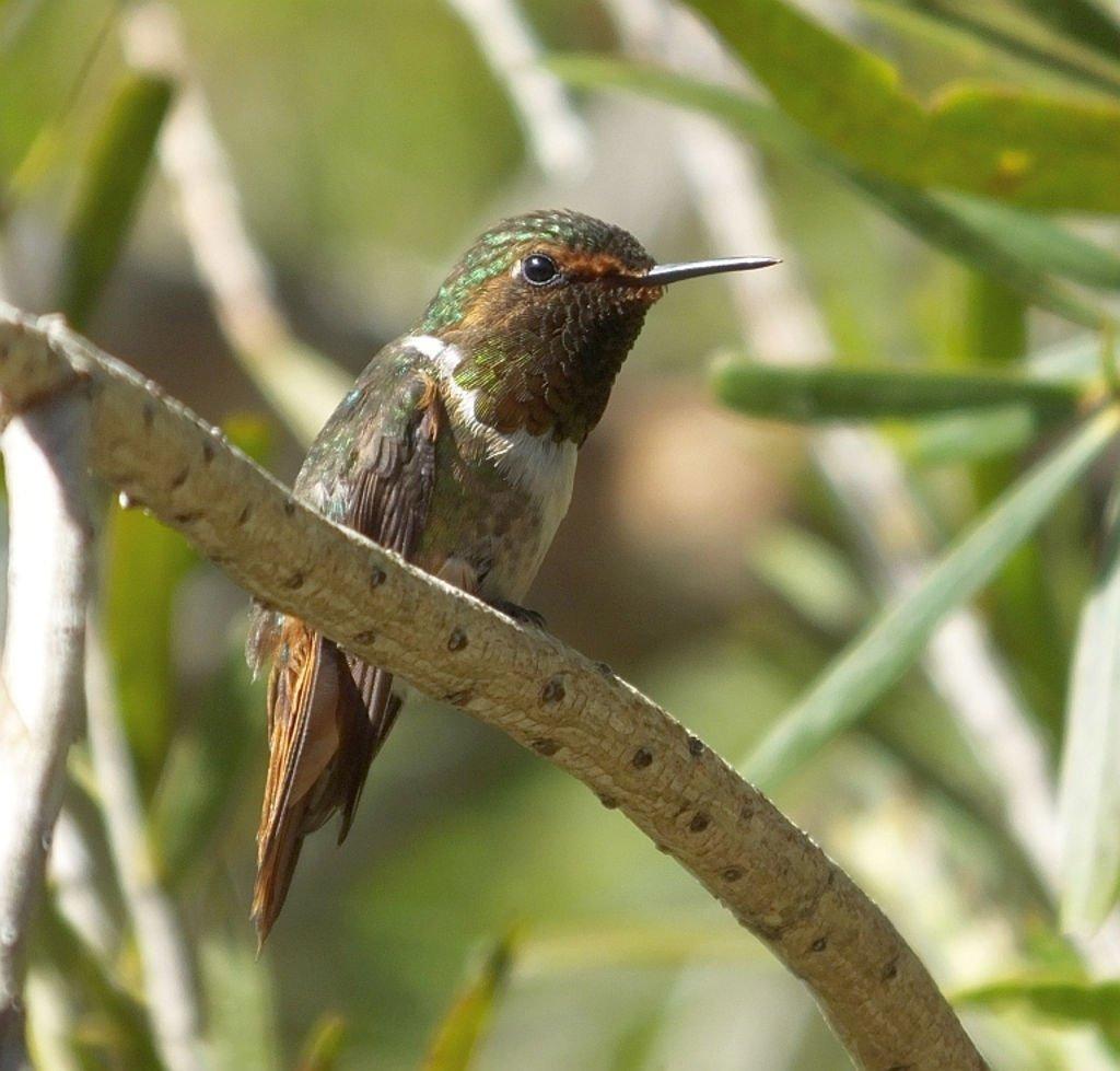 Scintillant Hummingbird (Colibrí Scintillante)