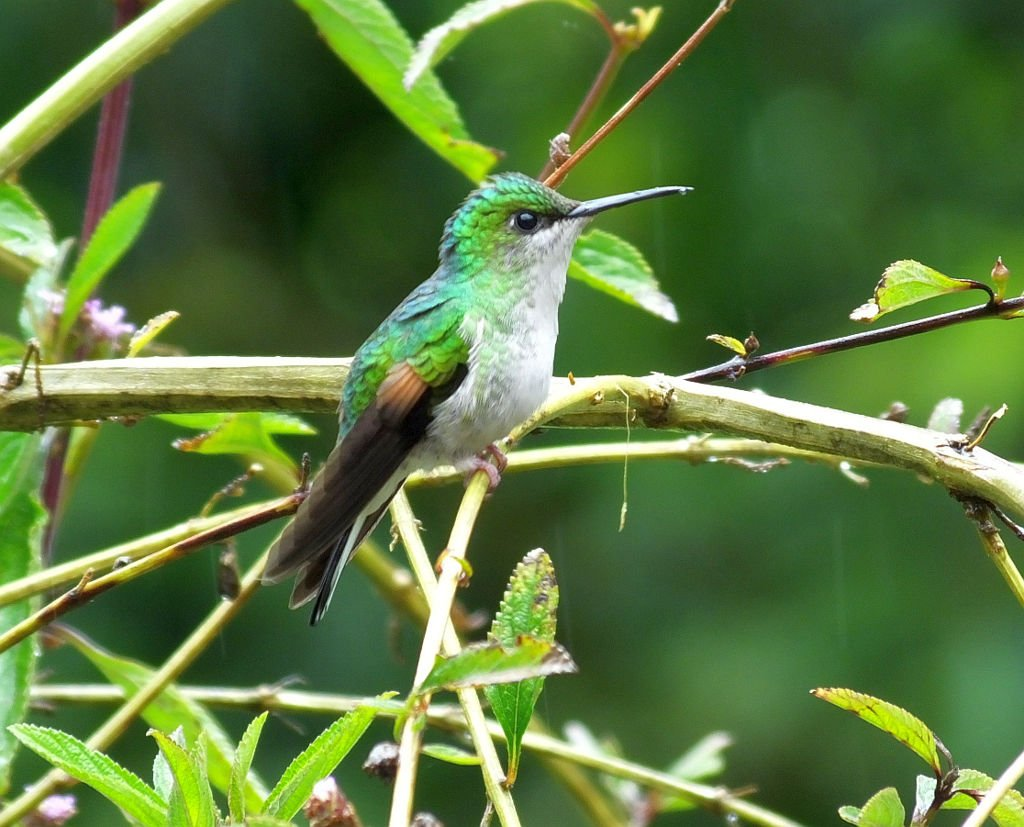 Stripe-tailed Hummingbird (Colibri de Cola Rayada)