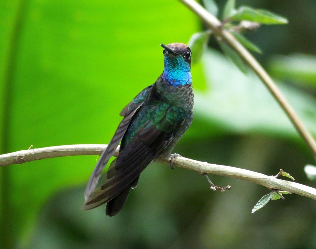 Talamanca Hummingbird (Colibrí de Talamanca)