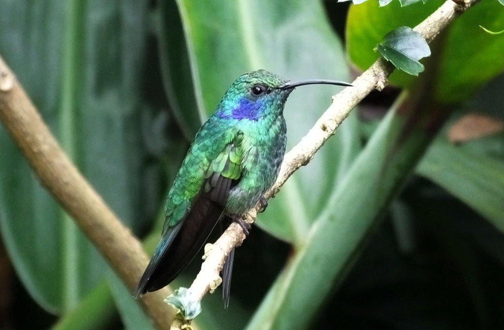 Lesser Violetear (Orejavioleta Pequeña)