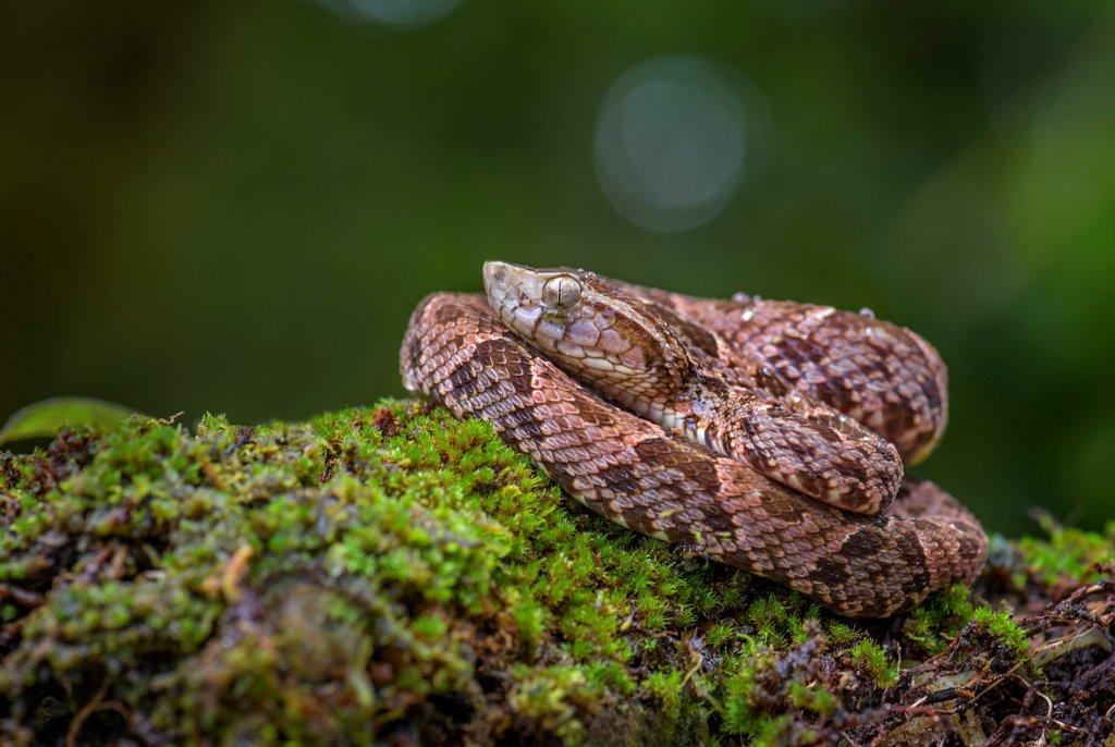 Fer de Lance snake in Costa Rica