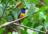They visit to see beautiful birds like the Gartered Trogon (Trogon violaceus)