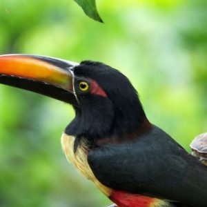 A Guide to the Toucans of Costa Rica