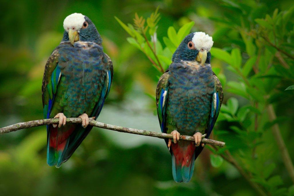 Par de Chucuyos, Pionus senilis, en Costa Rica.