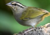 Olive Sparrow – Gorrion olivacea