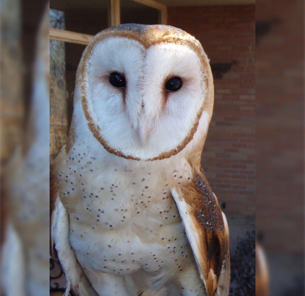 """Barn Owl, Nature Station, Carrie Szwed""byLandBetweentheLakesKYTNis marked withCC PDM 1.0"