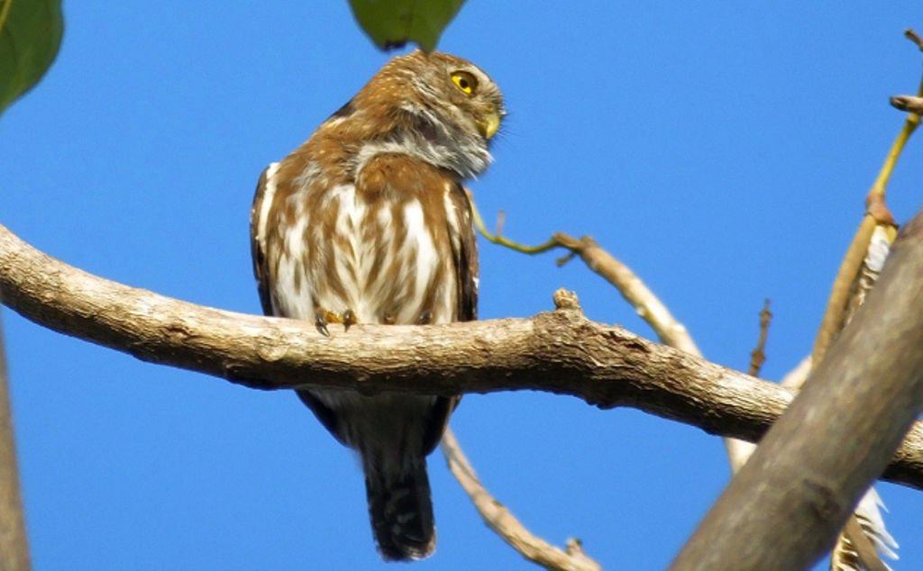 Tecolote in Costa Rica