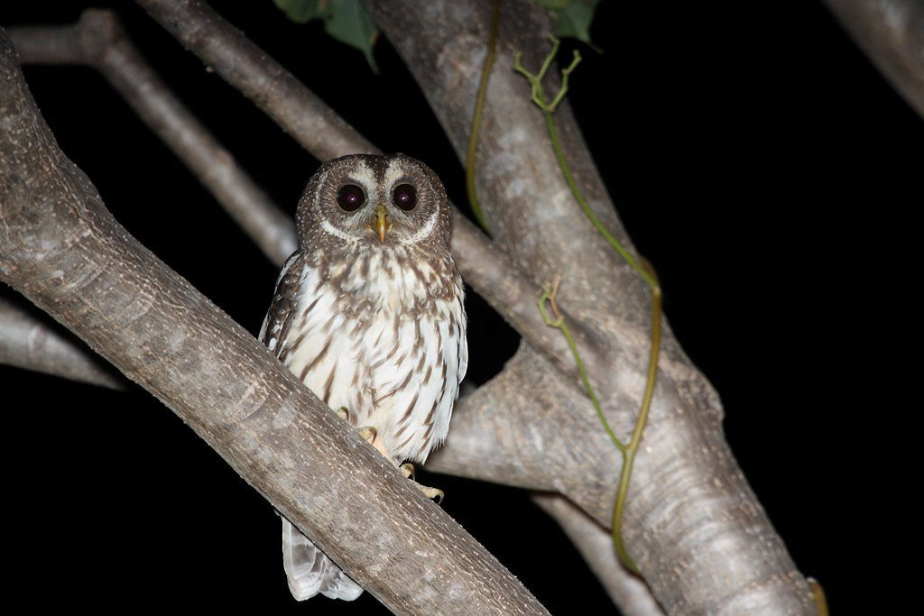 """Mottled Owl (Ciccaba virgata)""byDominic Sheronyis licensed underCC BY-SA 2.0"