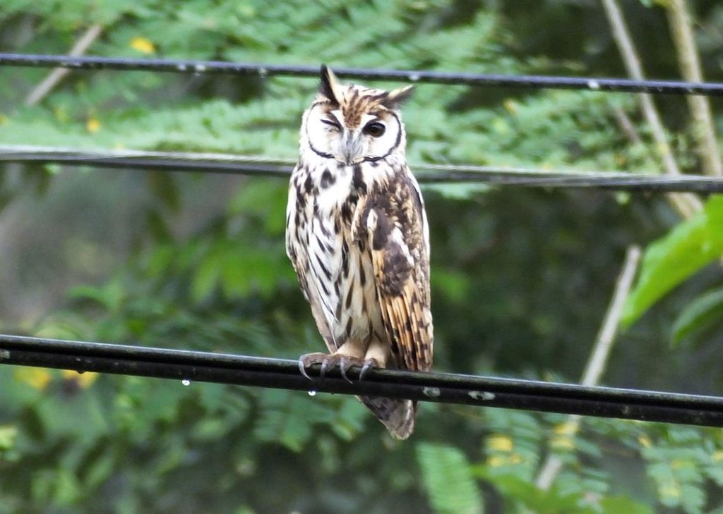 The striped owl CR