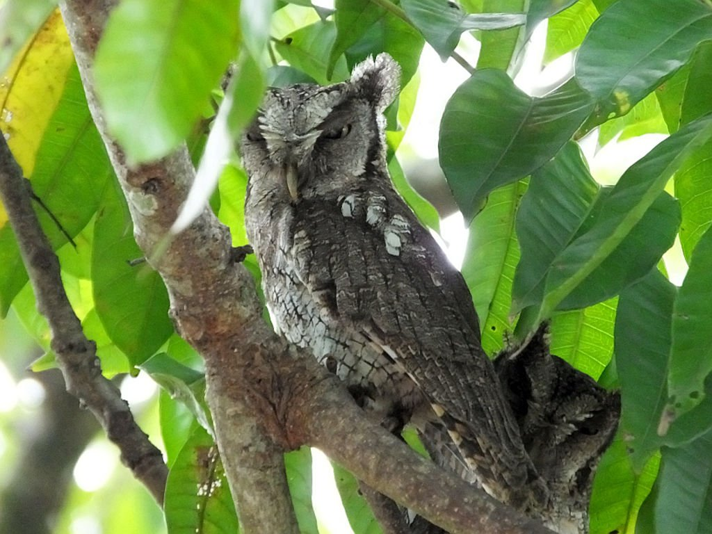 The tropical screech owl is a master of disguise