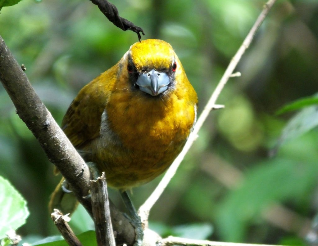 The comical Prong-billed Barbet