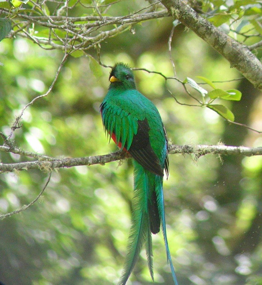The incredible Resplendent Quetzal