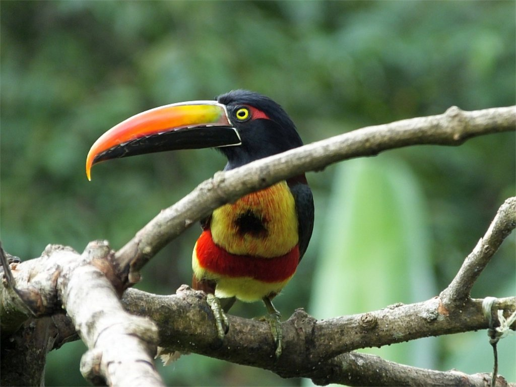 A toucan or two might even make an appearance. The Fiery-billed Aracari (Aracari piquinaranja) is one of two species of toucans that occurs at Villa San Ignacio.