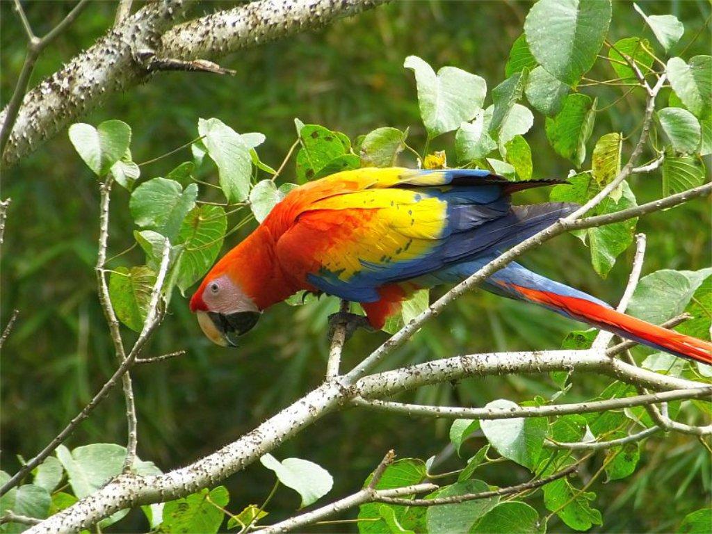"""En Costa Rica, esta hermosa ave es conocida como """"Lapa"""" o """"Lapa Roja"""""""